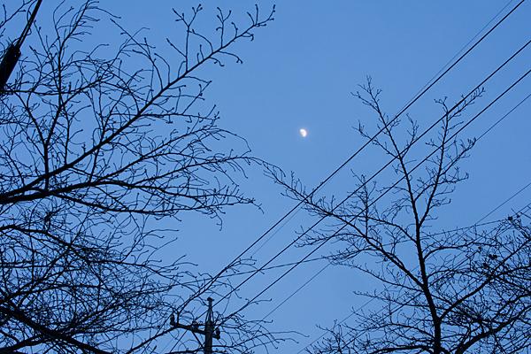 桜の木と月の夕暮れ