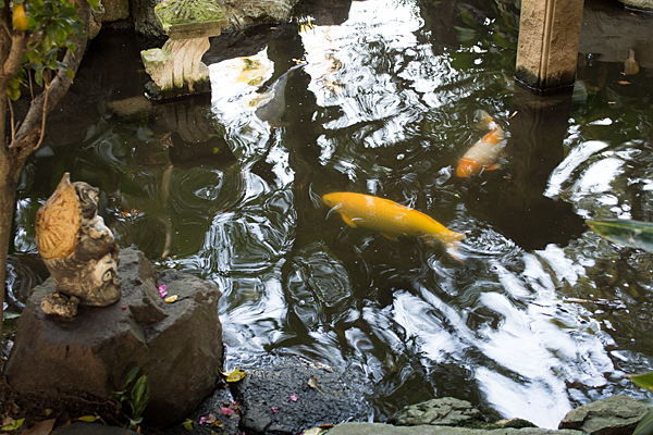 矢田六所神社池の鯉