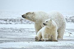 250px-Polar_Bear_ANWR_1.jpg