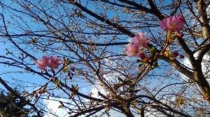 浅間さんの河津桜
