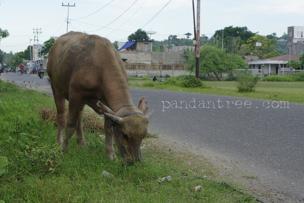 スンバ島の牛