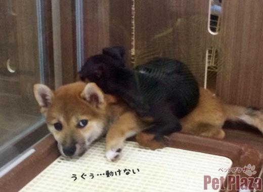 柴犬 ピンシャー 大阪府高槻市 北摂 京都