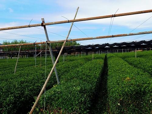 IMGP1875_茶畑2