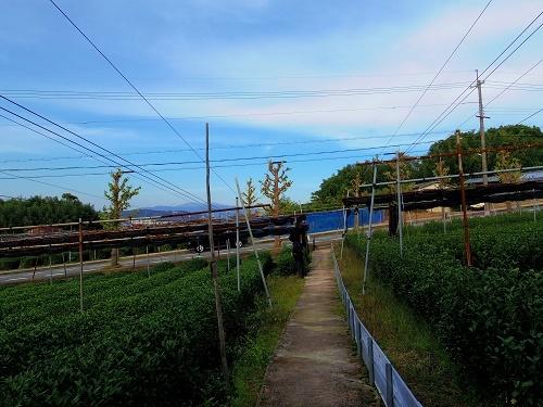 IMGP1876_茶畑3