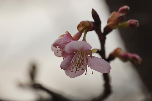 17年庭の桜が咲く