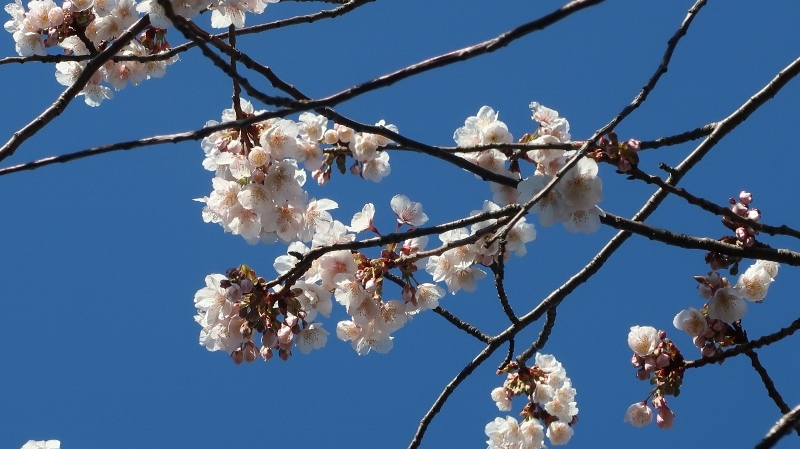 09IMG_7626大寒桜 (800x449)