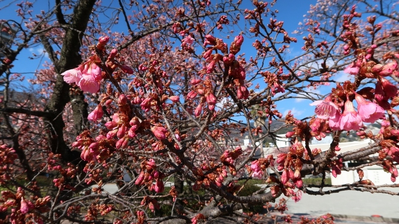 08IMG_7613寒緋桜 (800x449)