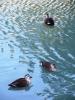 駿府城の鴨