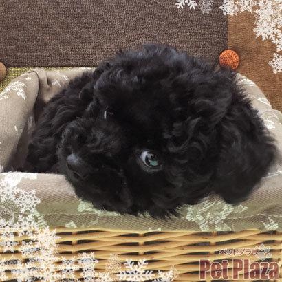トイプードル 黒 チャンピオン 大阪 泉南 りんくう 和歌山