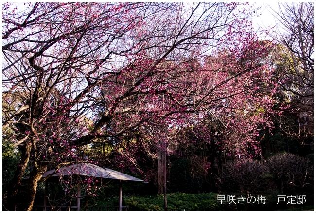 640DSC_3626早咲きの梅