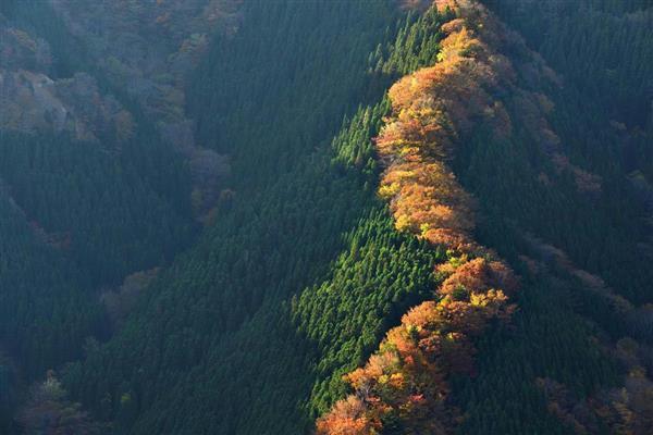 龍が尾根を昇る_朝日を浴び、色づいた木々の葉が鮮やかに輝き出す。龍が尾根筋を昇っていくようだ=13日朝、奈良県上北山村_lif1611200028-p1