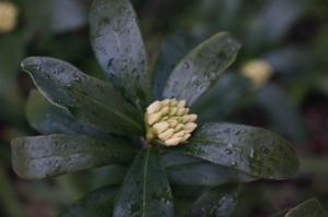 沈丁花の蕾2