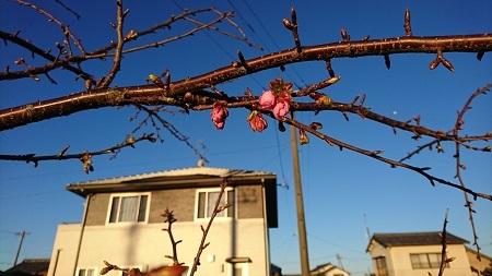 2017.2.12桜