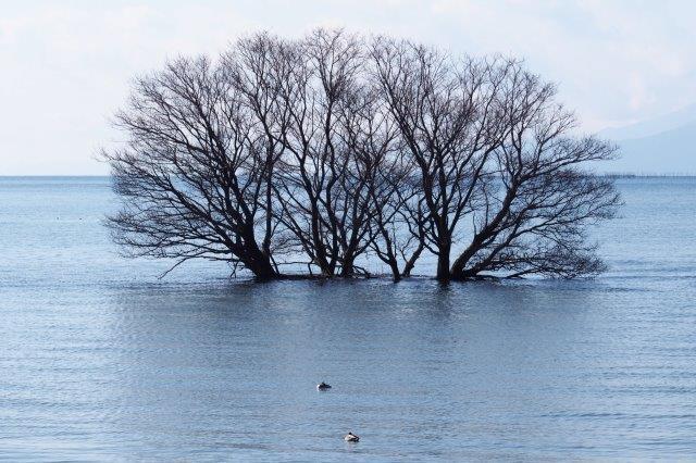 長浜市湖北町 湖北野鳥センター周辺探鳥地 琵琶湖の水鳥