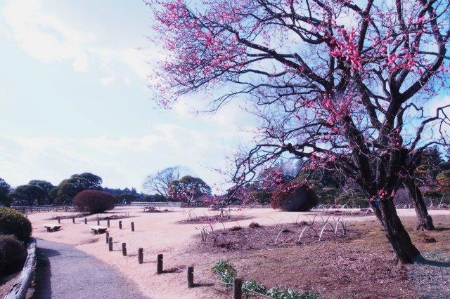 日本三名園のひとつ水戸の偕楽園 庭園の梅の花