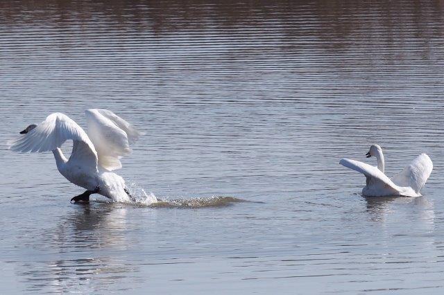 長浜市湖北町海老江にある早崎内湖 コハクチョウの飛び立ち