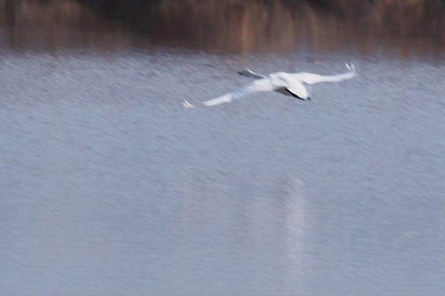 コハクチョウ 飛び立ち 琵琶湖北東部 早崎ビオトープ