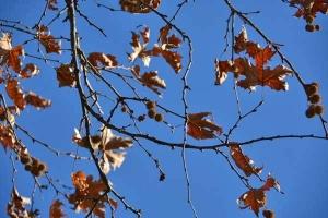 Platanus Leaves
