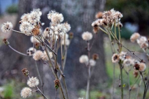 Tsuwabuki Seeds