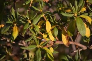 Azalea Leaves