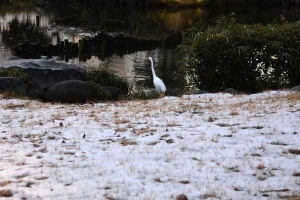 Snow and Egret