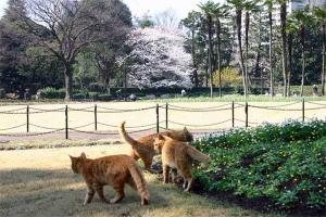 Sakura Cats