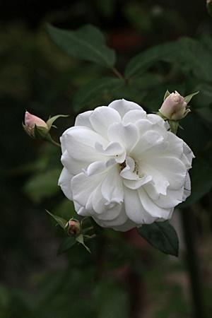 メアリーローズ 白花
