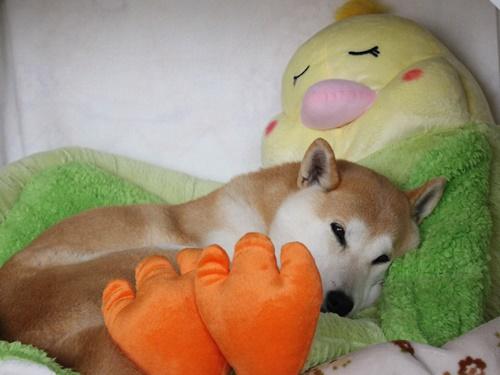 インコの添い寝4