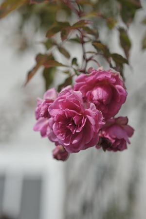 rose20170207-2.jpg