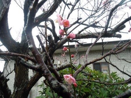 紅梅4(2017-02-05)