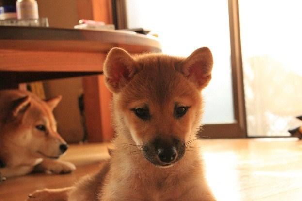 福、子犬1