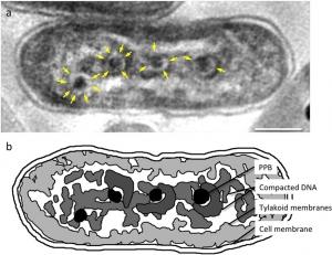 Synechococcus elongatus PCC7942
