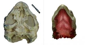 Sichuanchelys palatodentata