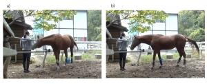 Domestic horses send signals to humans