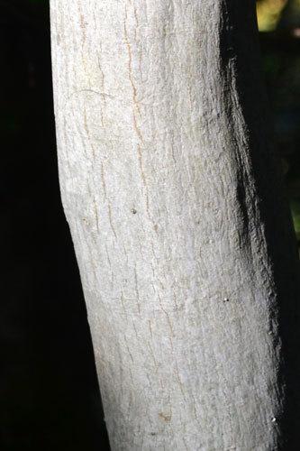 シラキ樹皮