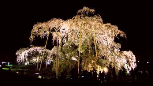 年末挨拶2016 三春滝桜