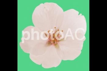 切り抜き写真素材 桜の花05
