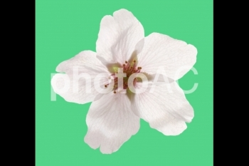 切り抜き写真素材 桜の花01