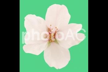 切り抜き写真素材 桜の花02