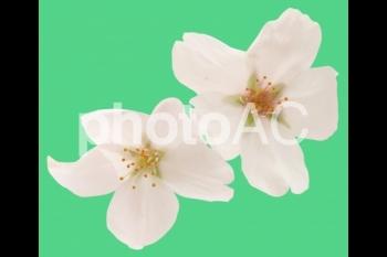 切り抜き写真素材 桜の花03