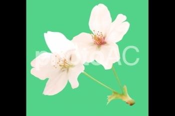 切り抜き写真素材 桜の花04