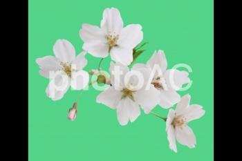 切り抜き写真素材 桜の花07