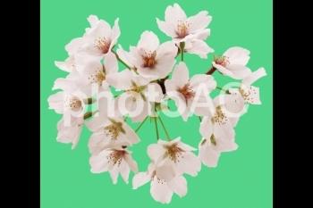 切り抜き写真素材 桜の花06
