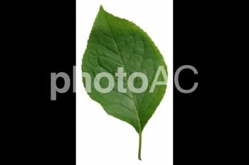 切り抜き写真素材 クヌギの葉02