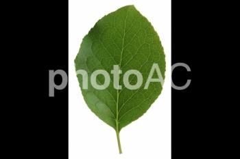 切り抜き写真素材 クヌギの葉03