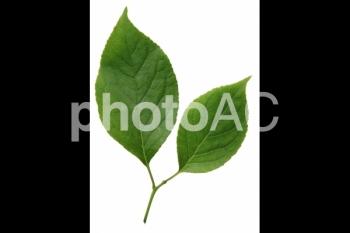 切り抜き写真素材 クヌギの葉05