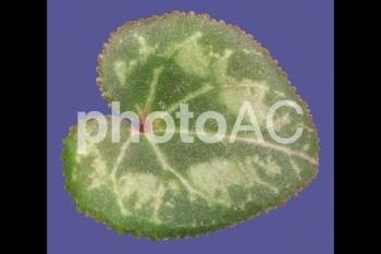 切り抜き写真素材 シクラメンの葉01