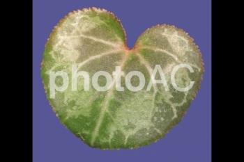 切り抜き写真素材 シクラメンの葉03