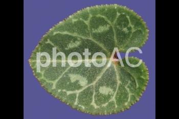 切り抜き写真素材 シクラメンの葉04
