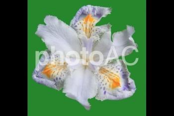 切り抜き写真素材 シャガの花